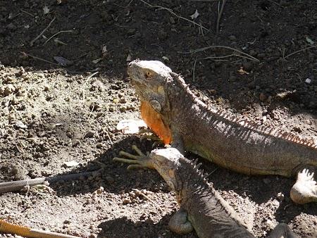 09. Iguana suparata.JPG