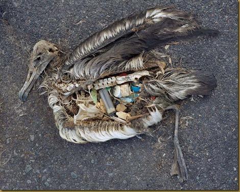 Albatros muertos en la playa despues de comer basura_1