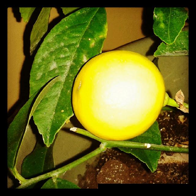 Indoor Fruit Plants Growing Indoor Fruit Trees; My Little Lemon & Lime