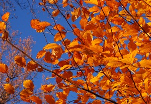 Copper_Beech_Fagus_sylvatica_f._purpurea_Autumn_Leaves_3008px