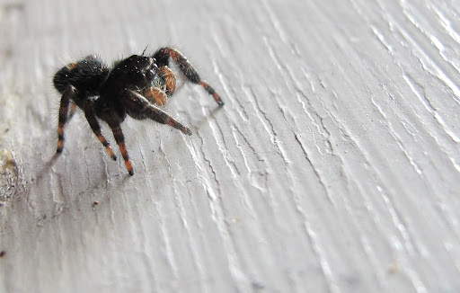 This defiant little spider was on my garage door; he's about 3mm long.  When I approached him with my camera, he reared back in a threatening position, ready to bite.  I've heard all spiders are venomous, though I'm not too worried about this little fellow.