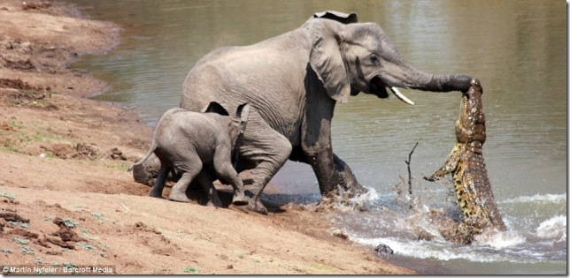 elephantvscroc