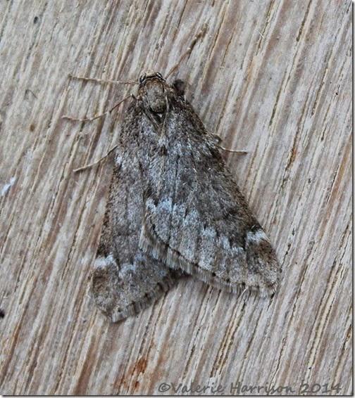 March-Moth