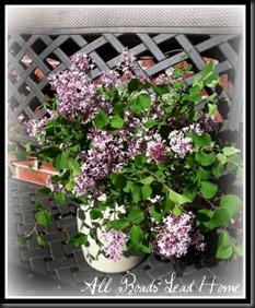 lilacs bloomed7 ARLH