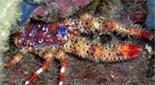 Méditerranée grotte à corail rouge galathée multicolore épineuse