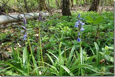 学名:Scilla hispanica 英名:Bluebell<br />蘭名:Blauwe Bos Hyacint<br />和名:釣鐘水仙(ツリガネスイセン)