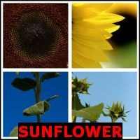 SUNFLOWER- Whats The Word Answers