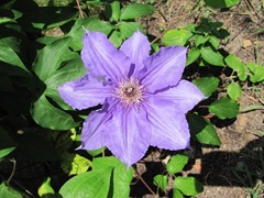 flower ma n dads clematis