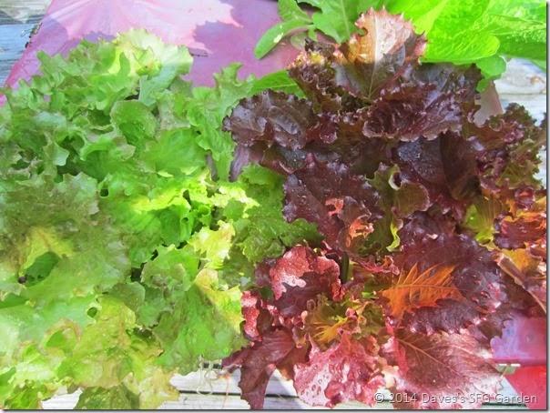 lettuce_garden