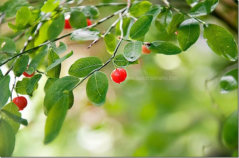 Berry-(1)