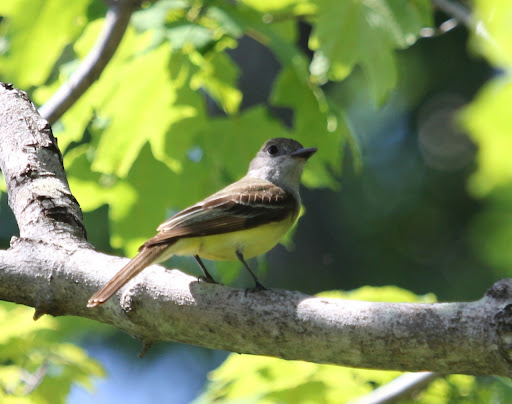 Friendly Great-crested Flycatcher