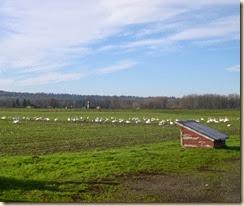 swan field