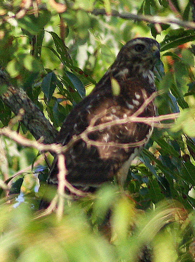 9-5-09, Minor Clark Fish Hatchery, juvenile Broad-winged Hawk hiding in tree
