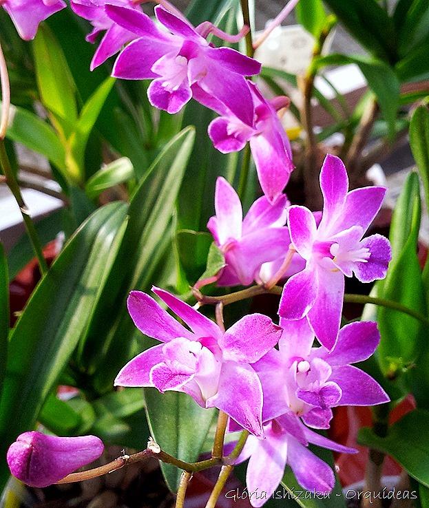 Glória Ishizaka - orquideas 9