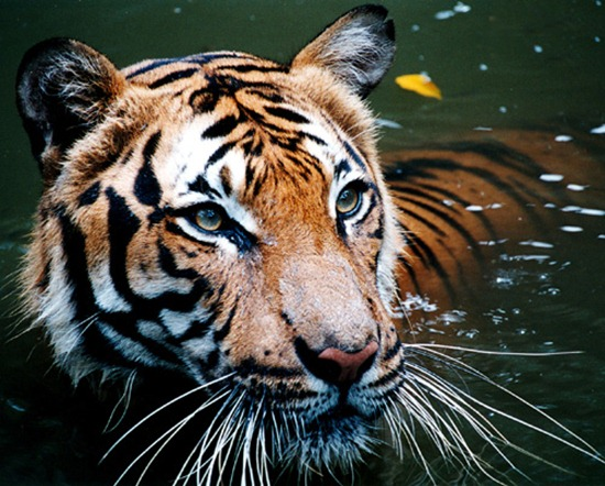 Fun Facts about Tigers in the water