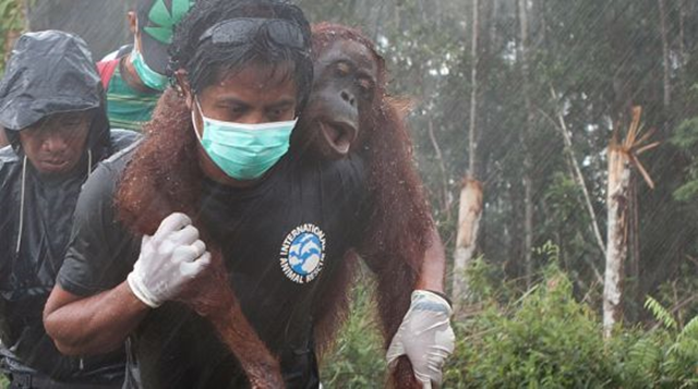 Rescue of an orangutan by International Animal Rescue Indonesia (IAR) activists. This photo was taken in March 2013 during IAR's rescue of four orangutans on the BGA palm oil plantation concession in West Kalimantan. Photo: IAR
