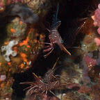 wunderschöne Crevetten, Komodo