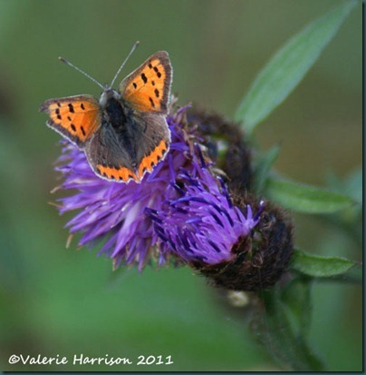5-small-copper