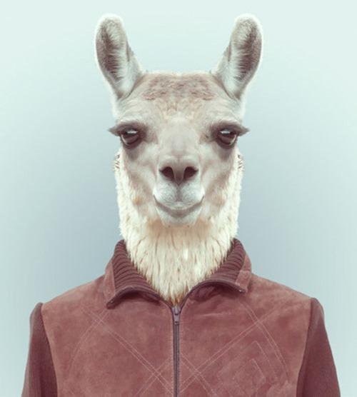 animais roupas humanas - Lhama