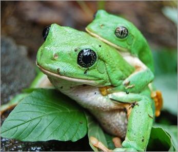 ranas verdes2 50%