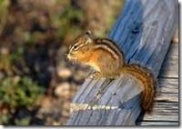 24}An Animal-Chipmunk