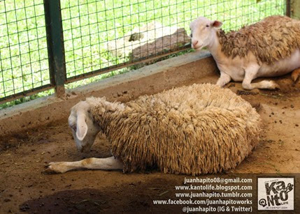 African Sheep