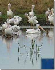 DSC07559 w pelican close up