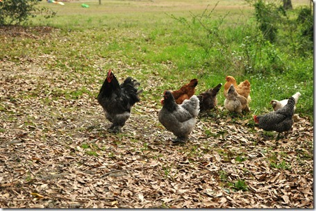 chickens out 0313 (1)