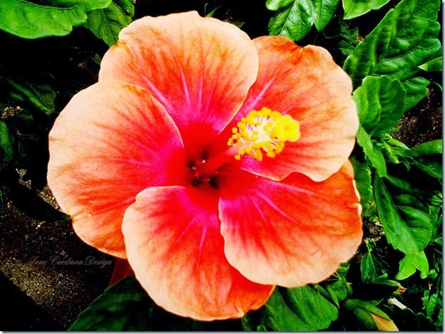 Hibiscus_Rene
