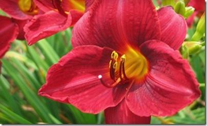 Oakes-Farm_daylilies-jpg
