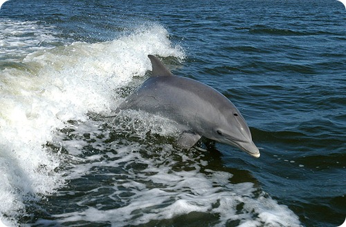 Bottlenose_Dolphin_KSC04pd0178