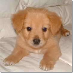 golden-retriever-puppy9