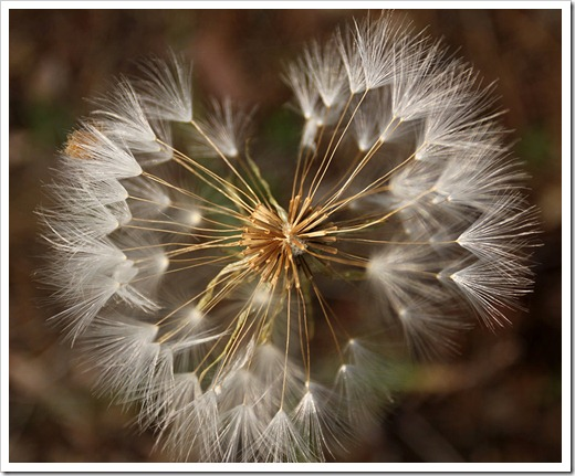 110708_Tragopogon-dubius_11