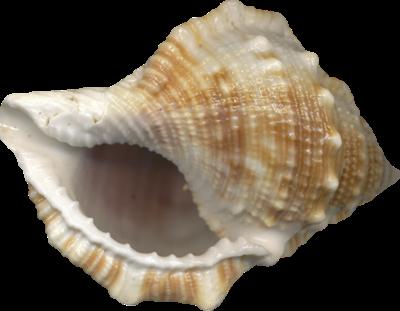 [Sea-shell%255B8%255D.png]