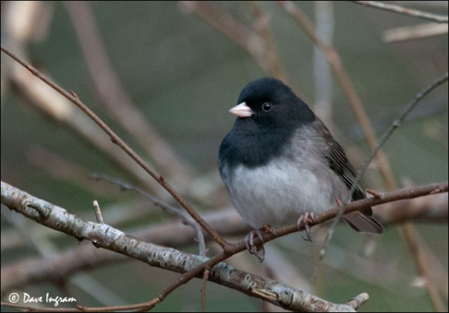 Dark-eyed Junco (Junco hyemalis). The Dark-eyed Junco is susceptible to death by windows strikes, according to a 2014 study in 'The Condor: Ornithological Applications'. Photo: Dave Ingram