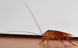 Amazing Pictures of Animals,Photo, Nature, Incredibel, Funny, Zoo, Cockroaches,Blattaria or Blattodea, Insecta, Alex (11)
