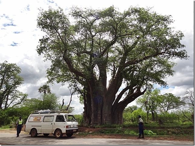 Big_Tree_Victoria_Falls_2