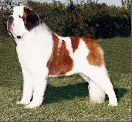 Amazing Animal Pictures St Bernard (6)