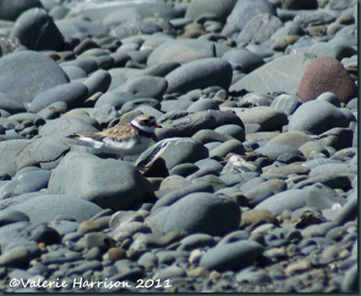 17-ringed-plover