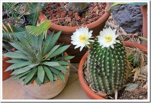 130519_Echinopsis-white_12