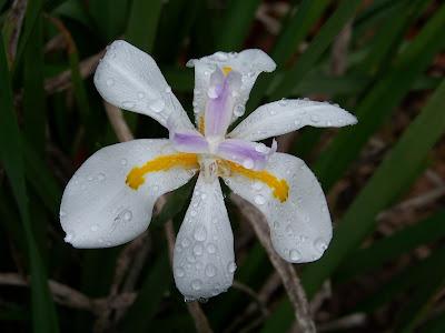 Popcorn iris