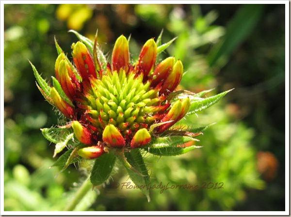11-26-blanket-flower