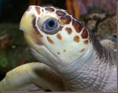 Amazing Pictures of Animals Caretta Caretta  Loggerhead sea turtle.Alex (4)