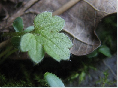 20130420 WBX Ranunculus repens 2