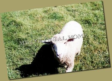 Sheep_0004