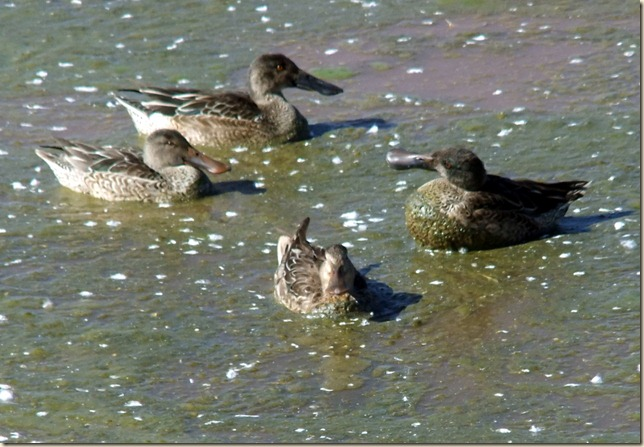 Northern Shovelers 1-19-2012 1-15-42 PM 1797x1243