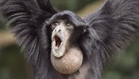 Amazing Pictures of Animals, Photo, Nature, Incredibel, Funny, Zoo, Gibbons, Hylobatidae, Primate, Mammals, Alex (13)