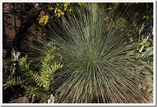 111228_UCBG_Xanthorrhoea-glauca Encephalartos-arenarius_002