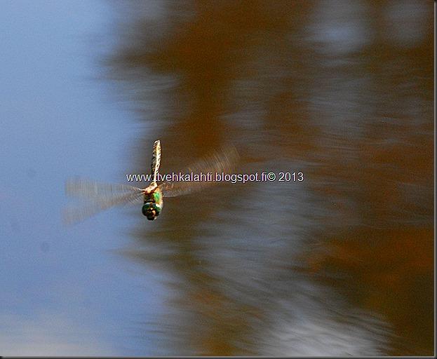 perhonen  sudenkorentoja 094