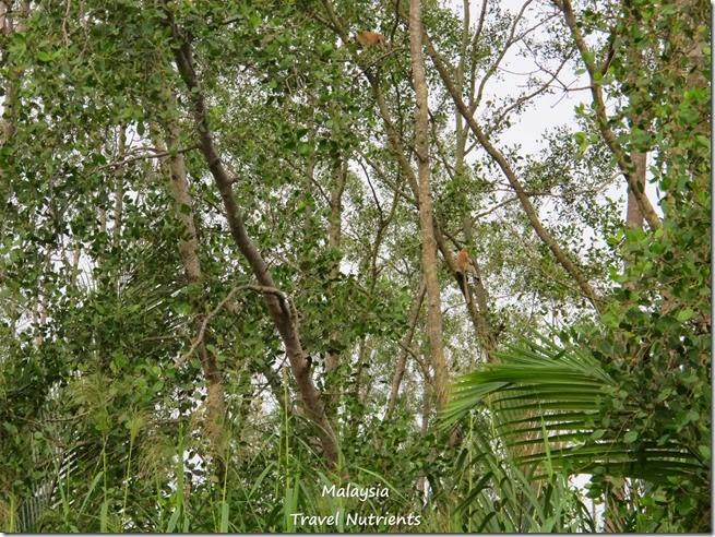 沙巴長鼻猴螢火蟲 (37)